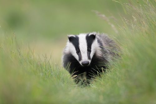 Badger Cub Portrait