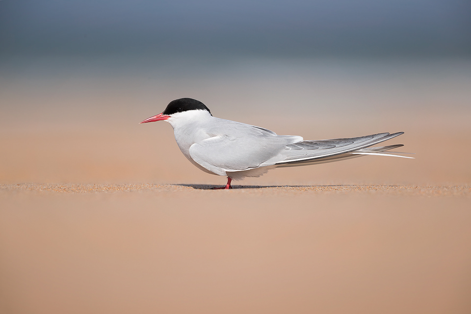 Arctic Tern portrait taken on Beadnell Beach, Northumberland. Here the birds nest in the sand dunes and fly out to sea to fish.