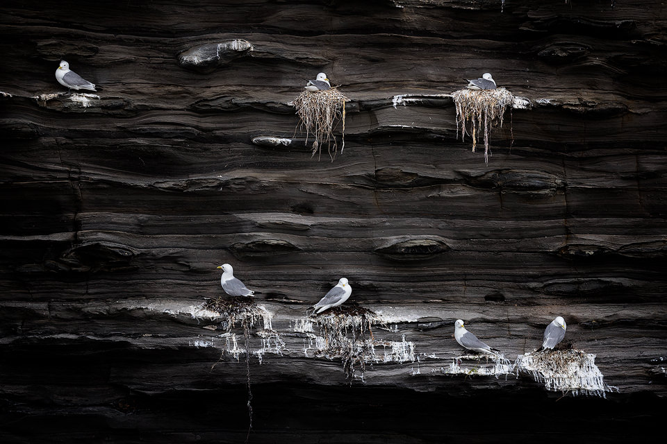 Kittiwakes nesting on sheer sea cliffs, Northumberland, UK. We had actually visited this location for some landscape photography, however I was much more taken with the nesting seabirds than the scenery here.
