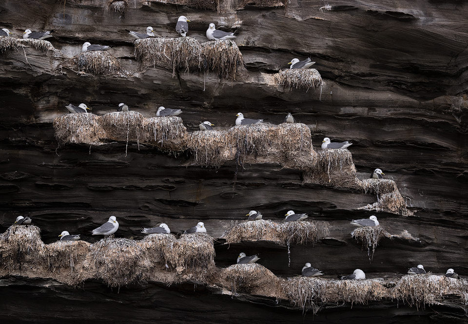Communal Kittiwake roost on sheer sea cliffs, Northumberland, UK. We had actually visited this location for some landscape photography, however I was much more taken with the nesting seabirds than the scenery here.