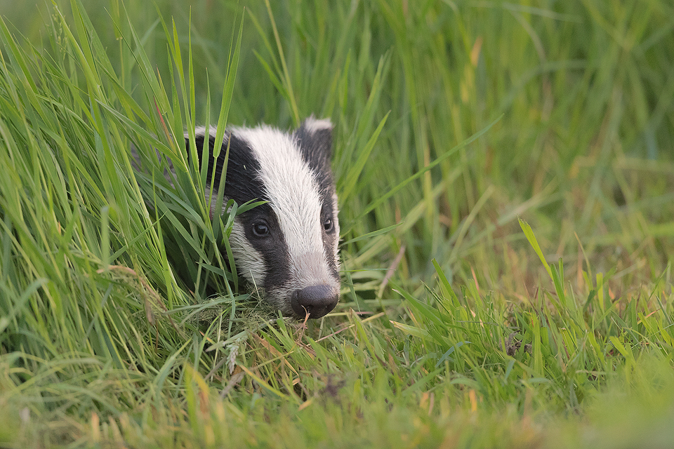 A badger cub peers cautiously out of the long grass, Derbyshire, Peak District National Park. As I sat listening to this little cub snuffling about in the dense vegetation at the edge of the field, I knew that it was only a matter of time before it would poke its nose through. All I had to do was carefully position myself to get the best angle.