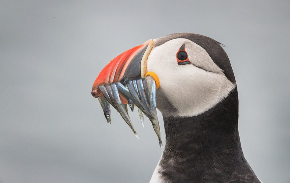 Classic portrait of a puffin with beak full of sand eels. If you look closely you can even see a squid at the tip of the beak! The Farne Islands offer one of the best opportunities worldwide to get up close and personal with these charismatic birds.