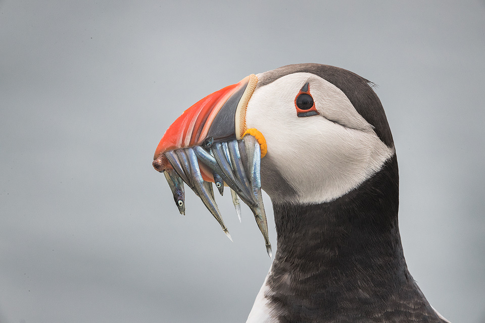 Puffin with Sand eels and Squid