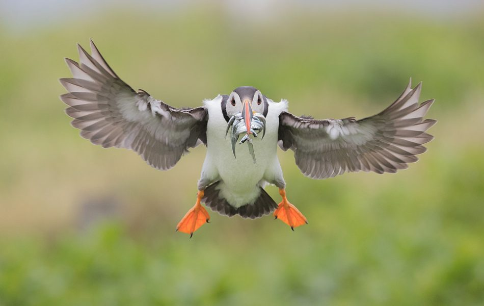 Puffin in flight, coming into land on Staple island. These fast flying birds are notoriously hard to capture in flight, so it took a fair few attempts to get this one with a beak full of sand eels mid flight. During the summertime around 150,000 breeding pairs of seabirds flock to the Farne Islands to nest. With such huge numbers crammed onto these tiny islands they are undoubtedly one of the best places in the UK to get close to sea birds.