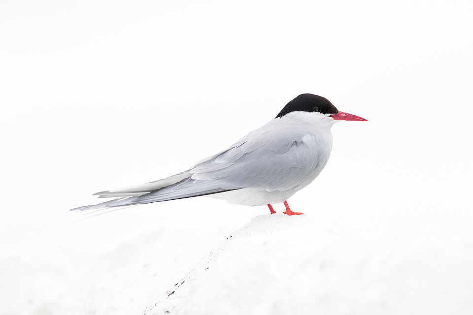 The featureless overcast sky and white painted wall allowed me to create this high key portrait of an Arctic Tern. Overcast conditions like this don't offer much in terms of contrast, but are perfect for bringing out colour and detail.