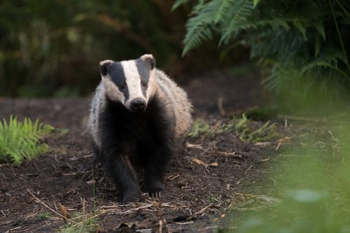 Badger Yearling