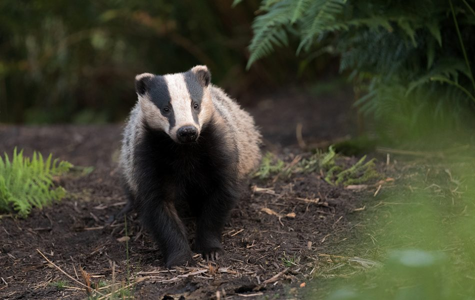 A badger yearling at one of the setts I regularly photograph. Derbyshire, Peak District National Park. Despite the incredibly harsh summer we've had this year, this family of badgers seem to have done very well. During the harshest weather I had been putting out a small amount of food and water at this sett and several others which really seems to have helped.