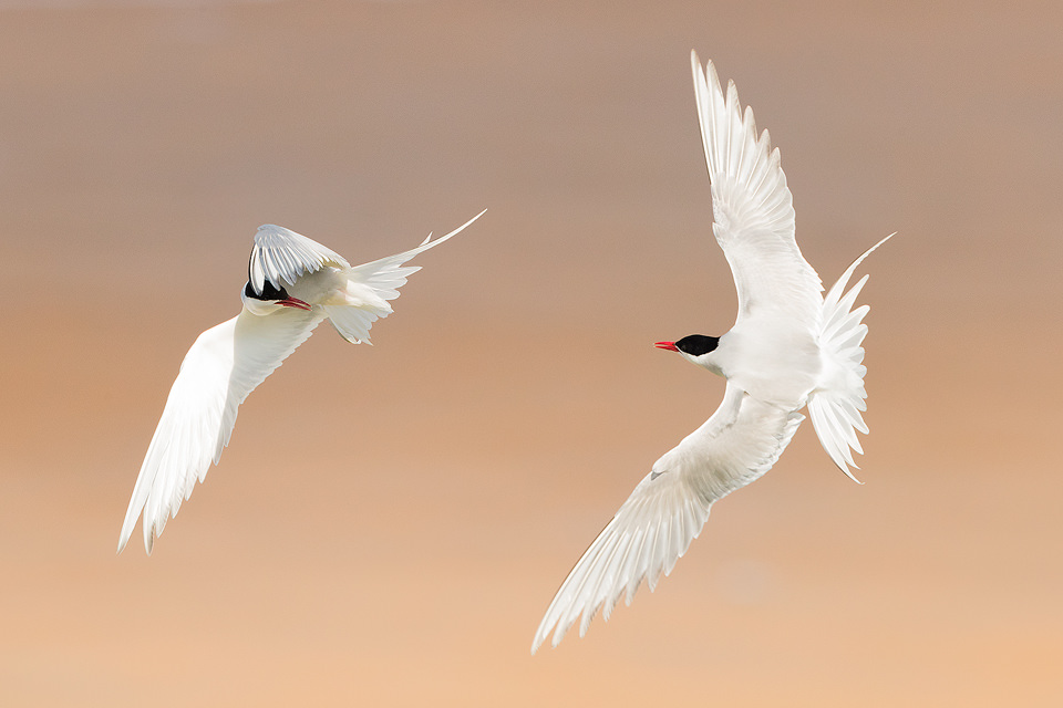 Arctic terns squabbling mid flight near Beadnell on the North East Coast. These ferocious birds are extremely territorial and will chase any intruders away from the nest, including people!