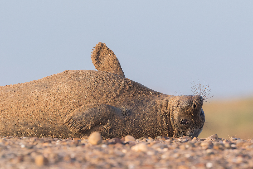 A grey seal pup relaxes on the pebbly beach. Lincolnshire, UK. Grey Seal Pup - Grey Seal Photography Workshop, Lincolnshire Wildlife Photography