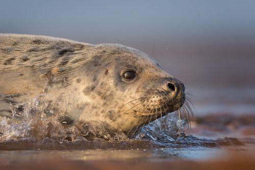 Grey Seal Pup Splashing