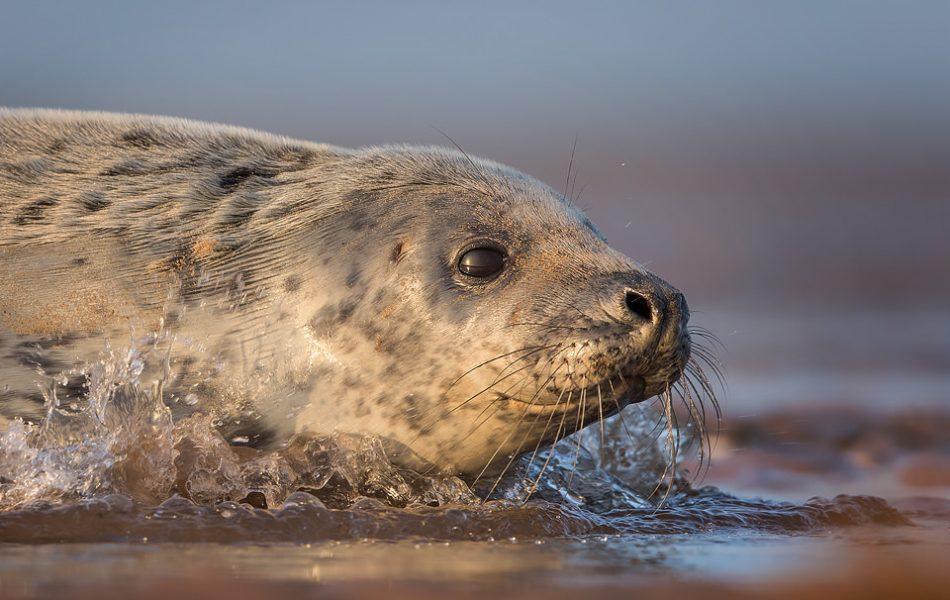 Grey Seal Pup - Grey Seal Photography Workshop