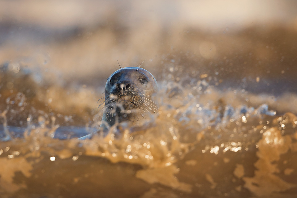 Grey Seal Cow in the Surf - Grey Seal Photography Workshop, Lincolnshire Wildlife Photography