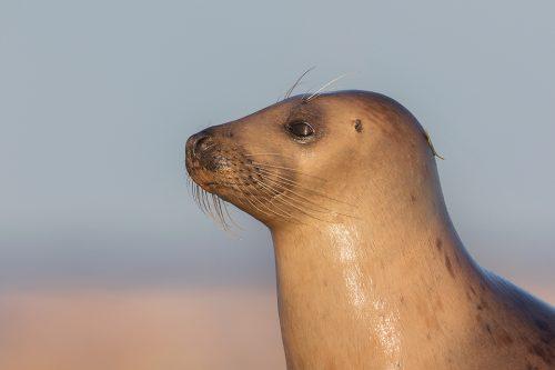 Female Grey Seal Portrait