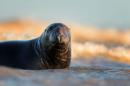 Bull Seal in the Surf