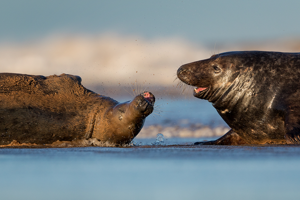 Bull Seal and Cow in the Surf - Grey Seal Photography Workshop, Lincolnshire Wildlife Photography