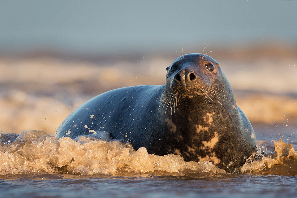 Bull Seal in the Surf - Grey Seal Photography Workshop, Lincolnshire Wildlife Photography