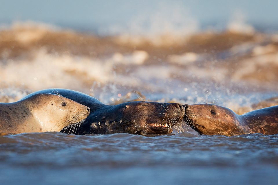 Bull Seal and cows playing in the Surf - Grey Seal Photography Workshop, Lincolnshire Wildlife Photography