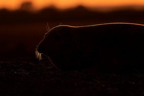 Backlit Grey Seal