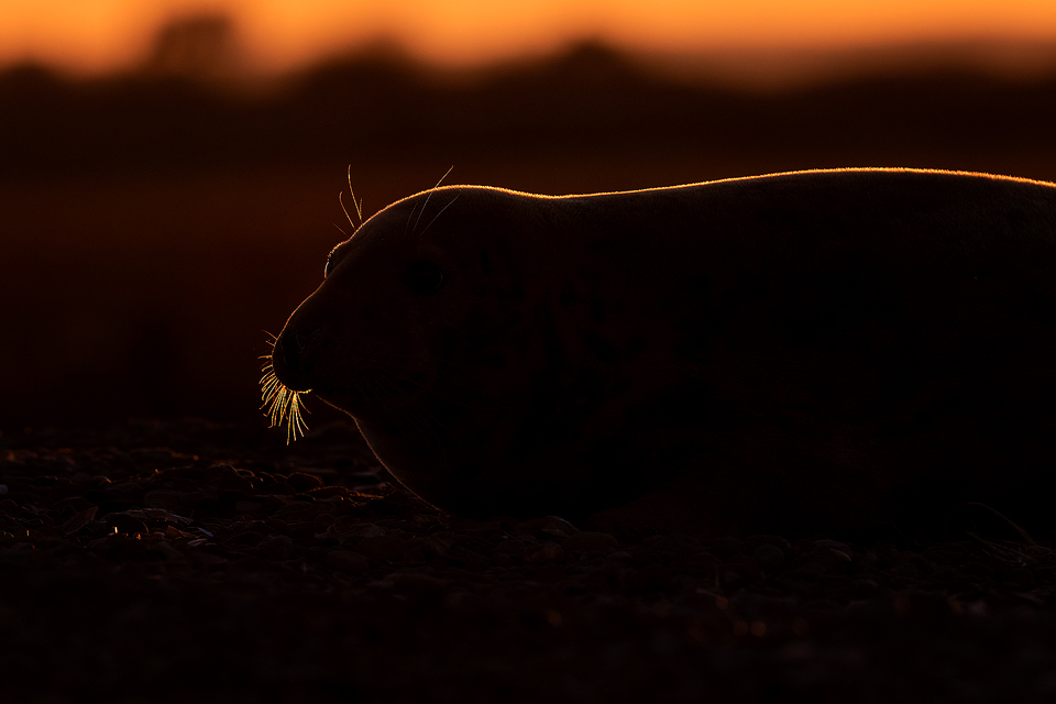 Backlit Grey Seal. Grey Seal Cow backlit by the warm rays of the setting sun. I chose to use the stunning rim lighting to highlight the shape of this seal relaxing on the sand dunes. Lincolnshire, UK. Backlit Grey Seal - Grey Seal Photography Workshop, Lincolnshire Wildlife Photography