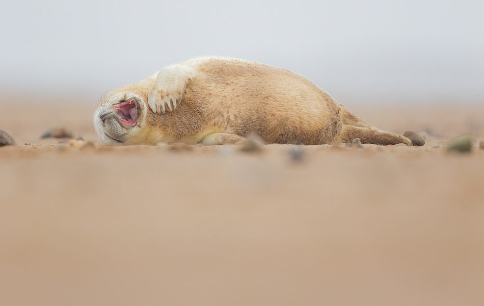 Yawning Grey Seal Pup. Fluffy newborn grey seal pup yawning after a stressful afternoon of lazing on the beach. Lincolnshire, UK. Smiling Grey Seal Pup - Grey Seal Photography Workshop, Lincolnshire Wildlife Photography