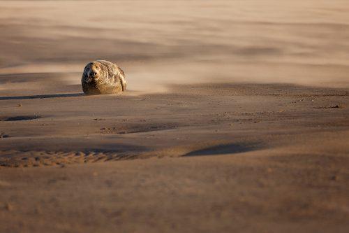 Bull Seal in a Sandstorm