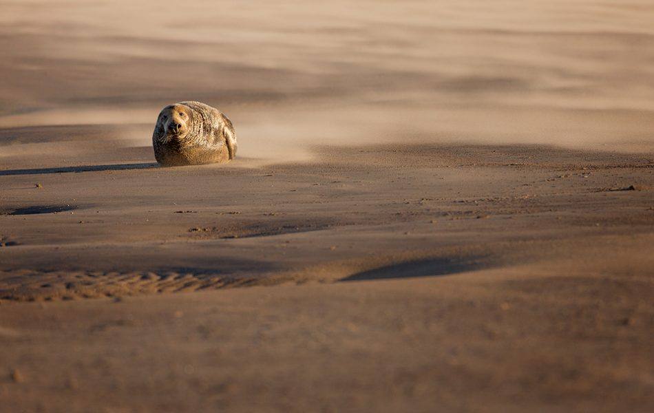 Grey Seal Bull in a Sandstorm - Grey Seal Photography Workshop, Lincolnshire Wildlife Photography