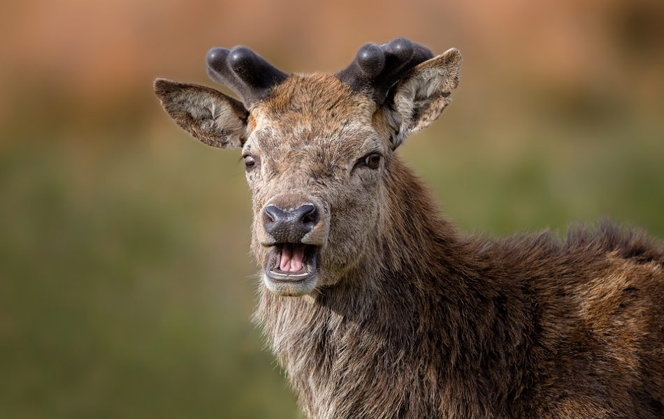 Surprised Stag. Red Deer Stag at the beginning of his velvety antler growth. Stags shed their antlers after the rut and grow a fresh set for the season. The number of points on the antlers is a great indication of the age of the deer. Derbyshire, Peak District NP.