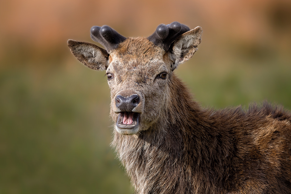 Surprised Stag