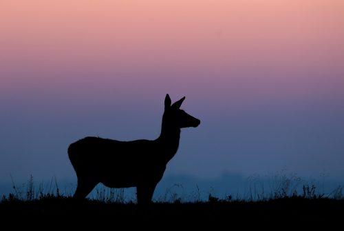 Red Deer Doe Silhouette