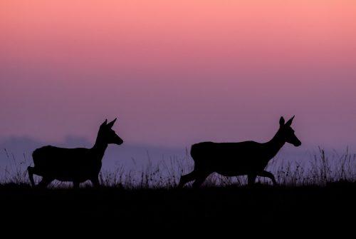 Red Deer Does at Dusk