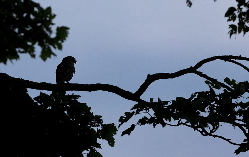 Little Owl Silhouette. Adult Little Owl with prey silhouetted on a branch at dusk. Derbyshire Peak District NP.