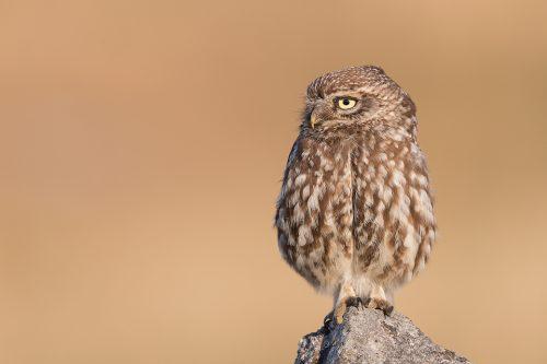 Little Owl Looking Sideways