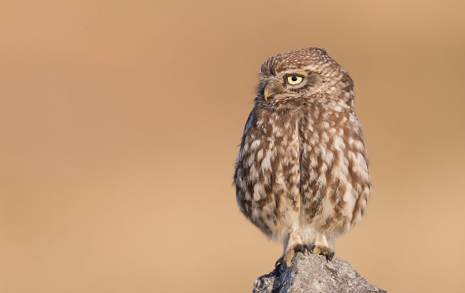 Adult Little Owl perched on a limestone rock in warm evening light. Derbyshire Peak District NP.