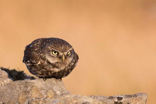 Little Owl Take Off
