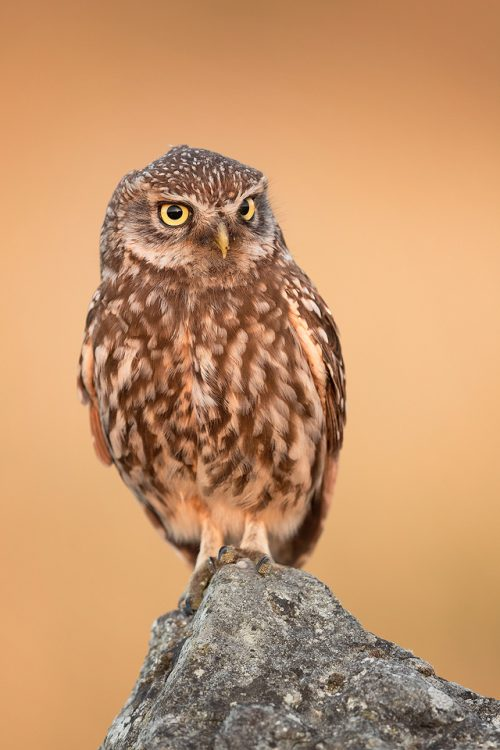 Little Owl Perched
