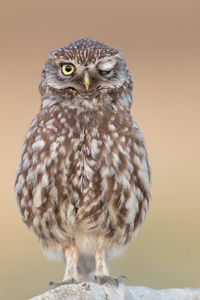Little Owl Wink