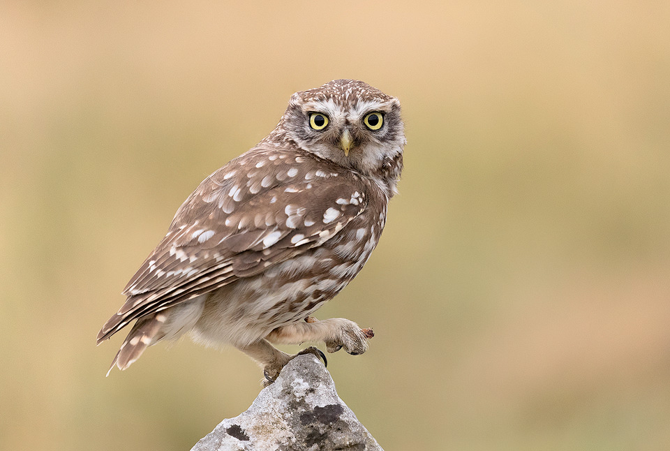 Little Owl and Prey