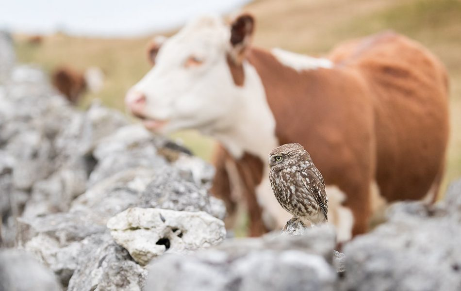 Despite being very cautious of the inquisitive cows originally, this adult little owl eventually realised the cows weren't a threat and continued to hunt the meadow right next to them. Derbyshire, Peak District NP.