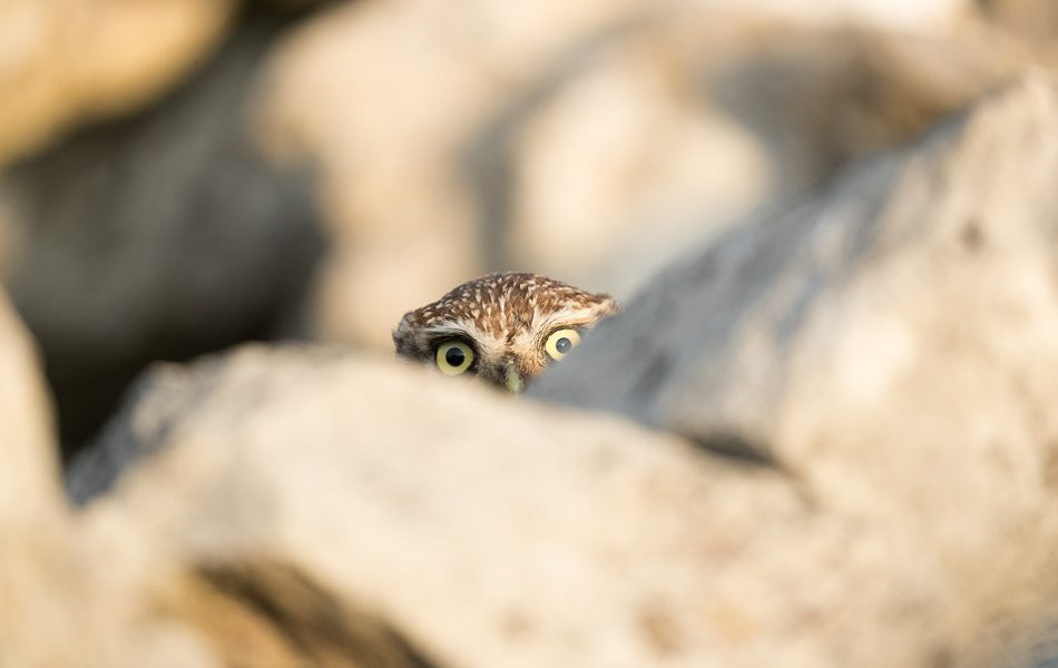Peekaboo! After ducking behind the wall to hide from a passing cyclist this little owl kept popping their head up to see whether the danger had passed. I couldn't resist laughing as the look it kept giving me was hilarious! Derbyshire, Peak District NP.