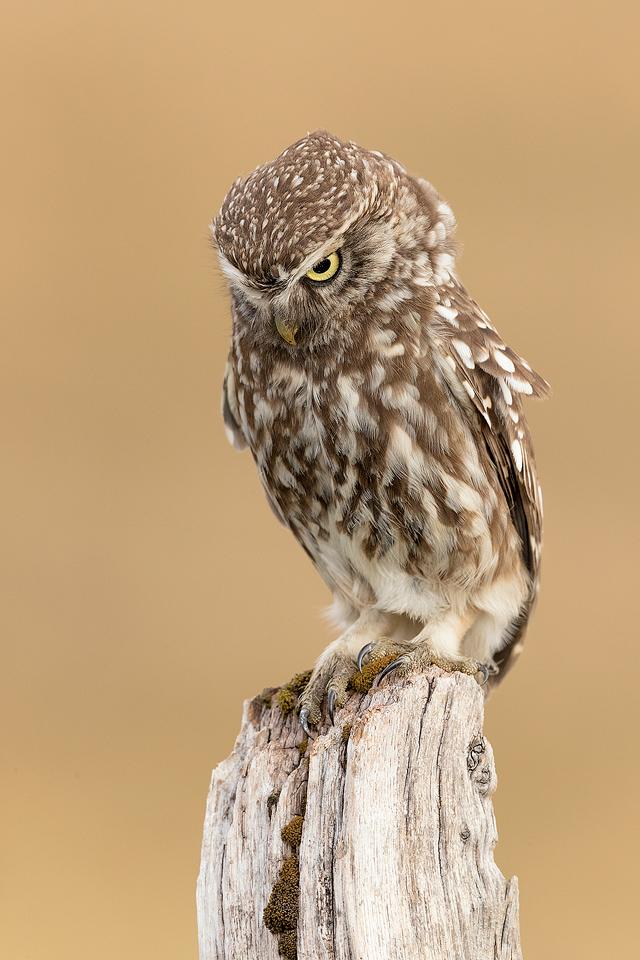 Hunting Little Owl