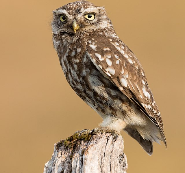 Little Owl perched on old wooden post. Derbyshire, Peak District NP.