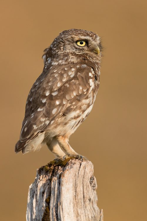 Little Owl Lookout