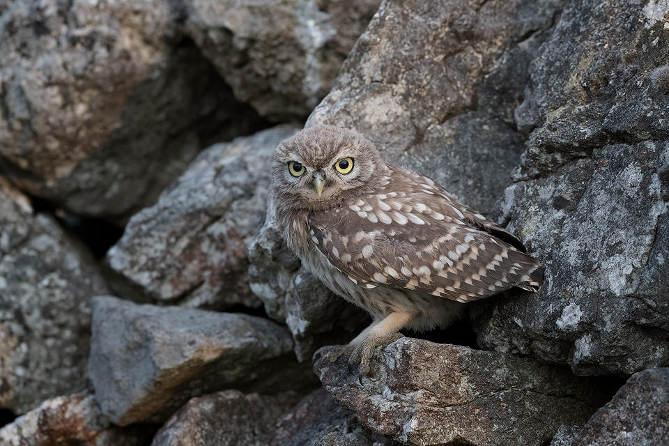 Little Owlet Camouflage