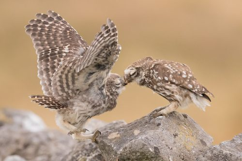 Little Owlet Feeding