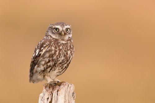 Little Owl Portrait 2