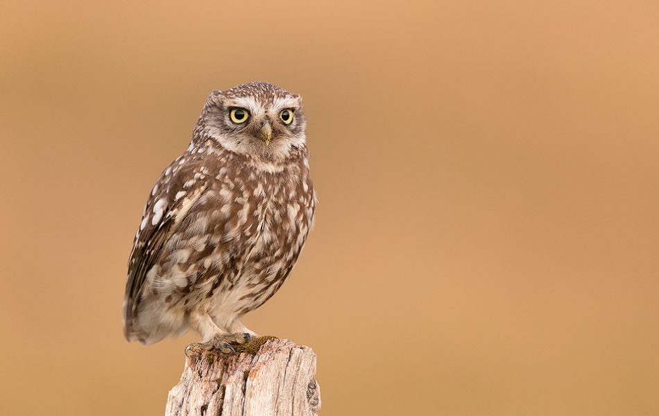 Little Owl perched on a weathered old wooden post. Derbyshire, Peak District NP.