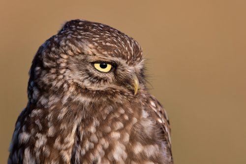 Little Owl Close Up