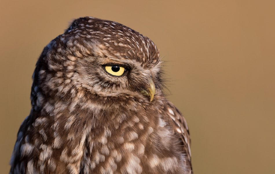 Little Owl Close Up. The family of little owls has become so used to my presence that they would often come within a metre or two, allowing me to capture both wide angle and extremely detailed close ups.