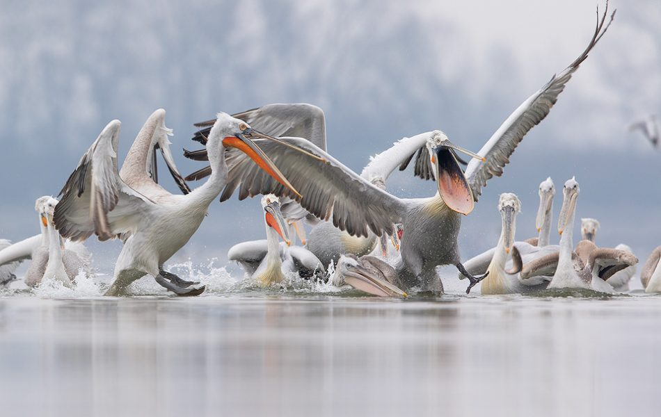 Dalmatian Pelican Feeding Frenzy. Daily feeds by the local fisherman offered some incredible opportunities to get up close and personal with these stunning birds. One this occasion a huge flock of the birds had gathered behind the boats and with fresh fish on the menu several vicious fights broke out. Lake Kerkini, Northern Greece.