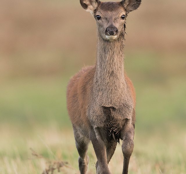 Red Deer Fawn. By approaching incredibly slowly and carefully, I made it very clear to the deer that I wasn't a threat. Eventually this inquisitive fawn decided to come over and investigate, eventually coming so close that I could no longer focus.